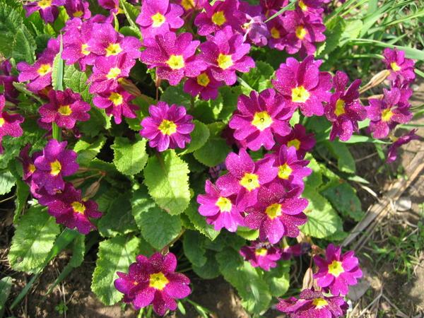 Сиреневенькие цветочки