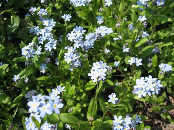Ещё голубенькие цветочки