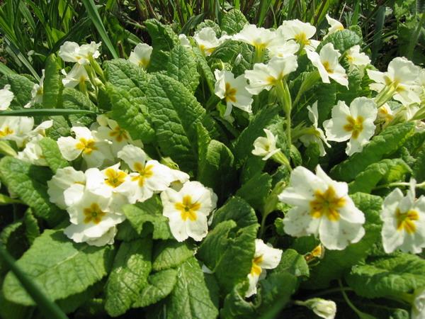 Беленькие цветочки