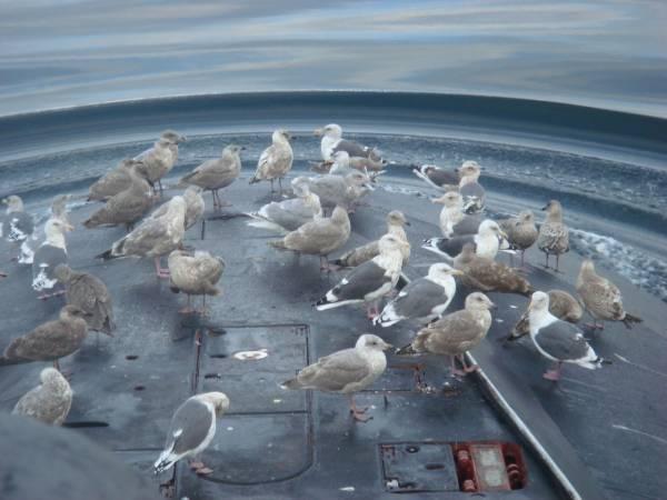 Чайки на лодке